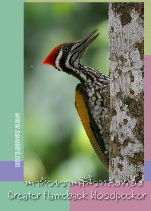 http://www.savebird.com/Bird_Image/PICIFORMES/WP_Flameback_G.jpg