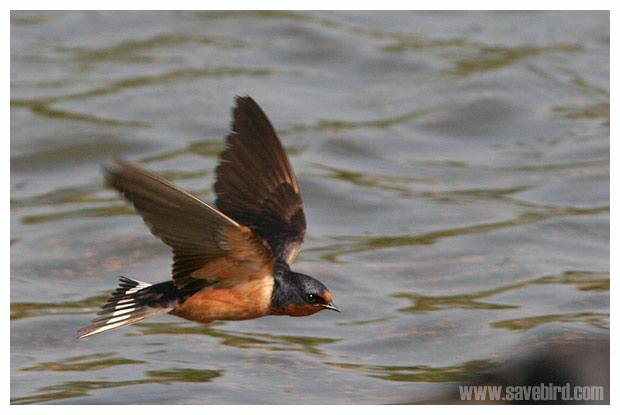 http://www.savebird.com/Bird_Image/SYLVIOIDEA/Swallow_Barn_2.jpg